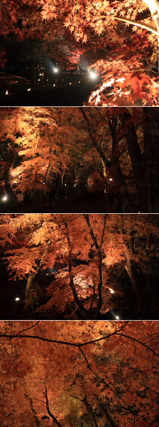 Lit-up for Momiji Tonnel