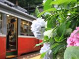 箱根登山鉄道のアジサイ