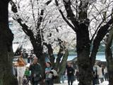 Hanami at Yasukuni Shrine