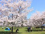 Hanami at Toneri Park