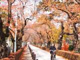 青山霊園桜並木